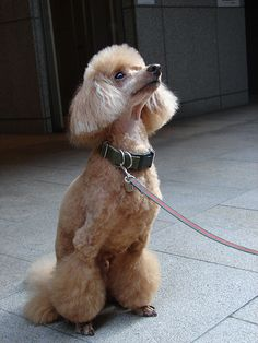 """""""chewie"""" toy poodle"""