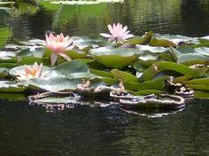 beautiful lilly pads - Pawleys Island SC