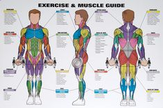 Men's Exercise & Muscle Guide Chart -- Spri (WC-MMG) | MonsterMarketplace.com