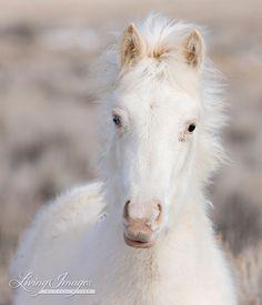 Sneeuw Colt  Fine Art Wild paard foto  Wild paard  bruin