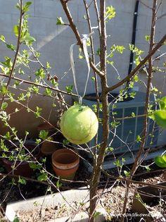 Apple Tree Care, Codling Moth, Growing Fruit Trees, Organic Gardening Tips, Vegetable Gardening, Container Gardening, Veggie Gardens, Organic Farming, Garden Guide