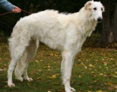 Borzoi Dog Info, Mixes, Temperament, Training, Puppies, Pictures Puppy Images, Puppy Pictures, Low Energy Dogs, Borzoi Puppy, Puppy Food Brands, Best Puppy Food, Russian Wolfhound, Dog Breeds List, Best Puppies