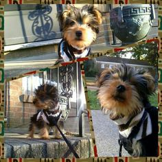Charlie enjoying the cooler weather... and getting use to being on leash. #Charlie #yorkie #puppy #almost3monsold #spoiledrotten #loved #playingoutside #teamyorkie #camerazoom #photogrid #teamandroid #instagram #cutenessoverload #mamasboy - @jovichic- #webstagram