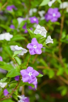 Yesterday Today and Tomorrow flower (Brunfelsia americana) Blue Garden, Summer Garden, Beautiful Roses, Beautiful Gardens, Concrete Leaves, Plant Tattoo, Potted Trees, My Secret Garden, Yesterday And Today