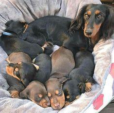 Dachshund Litter Weenie Dogs Sausage Dog Dachshund Love