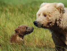 GRIZZLY BEAR WITH BABY