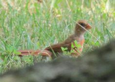 Northern Cardinal-juvenile-Rogers, MN
