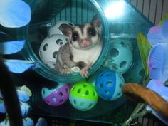 Sugar glider :) my uncle has two of these animals they are so cute there names are Bella and Mia