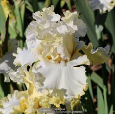 Tb Iris Germanica 'Unadulterated Fact of the matter' Blyth, 2018 Iris Flowers, Planting Flowers, Amazing Flowers, Beautiful Flowers, Iris Garden, Modern Garden Design, Container Gardening Vegetables, Bearded Iris, All Nature