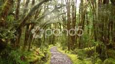 Path in a lush and mossy rainforest - Stock Footage   by JahnProductions
