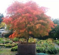 acer palmatum Beni Shi En 3