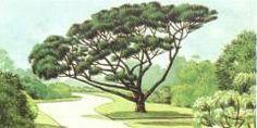 Stone Pine Pinus Pinea Pinaceae