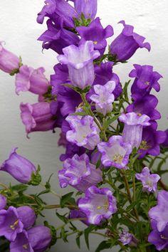 Marienglockenblume