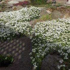 Rock cress for rock gardens