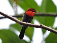 Male Crimson Sunbird