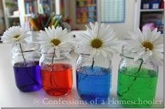 science experiment for how dye travels between jars - Google Search