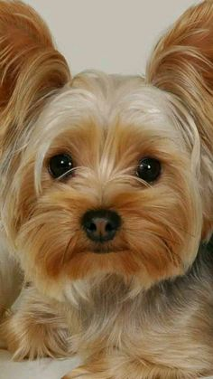 yorkie face = JUST TOO CUTE =