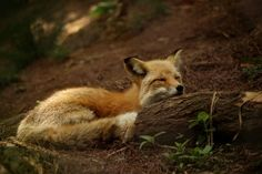 Red Fox by Elizabeth Keel - National Geographic Your Shot