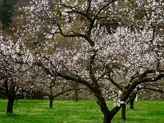 Gorgeous Apricot trees in bloom...Wachau Valley. - Print out and paste behind a window cutout to introduce the popcorn song!