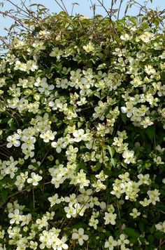 Image result for clematis montana morning yellow
