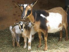Nigerian Dwarf goats make great pets, good milkers, great disposition and nice smaller frame eating less and needing less space.