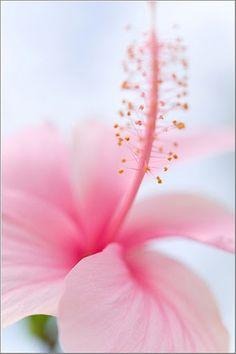 Hibiscus http://viaggi.asiatica.com/