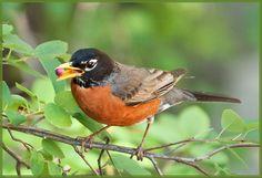 Just a Robin   Flickr - Photo Sharing!
