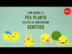 How Mendel's pea plants helped us understand genetics - Hortensia Jiméne. High School Biology, Biology Teacher, Teaching Biology, Middle School Science, Science Classroom Decorations, Classroom Activities, Science Lessons, Life Science, Science Fun