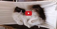 Timo The Cat And His Hammock Experiences