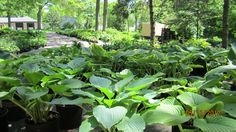 Hosta Flowers, Plants, Plant, Royal Icing Flowers, Flower, Florals, Floral, Planets, Blossoms