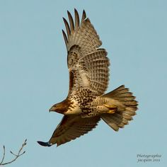 Rapace diurne by Jacquin-Qc, via Flickr