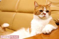 """""""ふてにゃん""""で大人気! タレント猫・春馬くんの意外すぎる「嫌いなもの」とは   週刊女性PRIME [シュージョプライム]   YOUのココロ刺激する"""