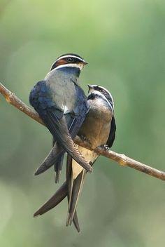 Whiskered treeswift / Hemiprocne comata / Hémiprocné coiffé : L'Hémiprocné coiffé est une espèce d'oiseaux de la famille des Hemiprocnidae. Cette espèce vit au Brunei, en Indonésie, en Malaisie, au Myanmar, aux Philippines, à Singapour et en Thaïlande. Wikipédia