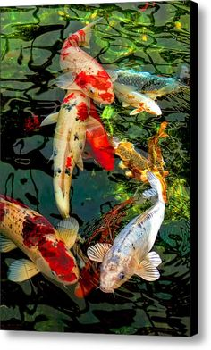 Colorful Japanese Koi Fish Canvas Print / Canvas Art By Jennie Marie Schell