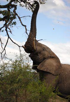 Olifant Kruger Park