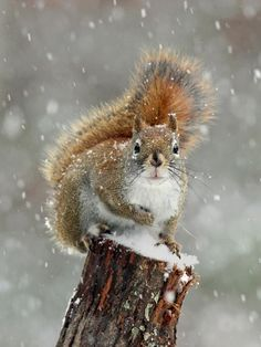 Photo about An American red squirrel in a winter snow storm. Image of squirrel, branch, severe - 103951152 Images Of Squirrels, American Red Squirrel, Christmas Animals, Christmas Squirrel, Cute Squirrel, Winter Wallpaper, Cute Baby Animals, Wild Animals, Tier Fotos