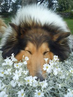 Sleeping Rough Collie....memories of Robbie