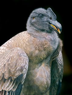 Portrait of a condor, looking a bit funny. Actually the condor is the biggest flying bird of the Americas!