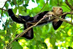 PHOTO: White-faced Capuchin Monkey in Manuel Antonio National Park, Costa Rica on http://holeinthedonut.com