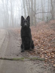 """All black german shepherd :) if I can't have an all black cat I'll get me one of these.<<<<wtf that's no ordinary """"black German shepherd"""" that's SIRIUS F-ING BLACK RIGHT THERE Beautiful Creatures, Animals Beautiful, Cute Animals, Wild Animals, Baby Animals, The Ancient Magus Bride, Siberian Huskies, Fantastic Beasts, Hogwarts"""