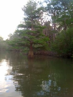Cypress tree at Iamonia Lake in Calhoun County, Florida.