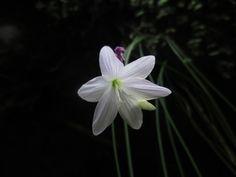 Geissorhiza cataractarum