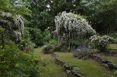 "Rose ""Rambling Rector"" (Phillip Oliver/Michael Scott garden, Florence, Alabama)"