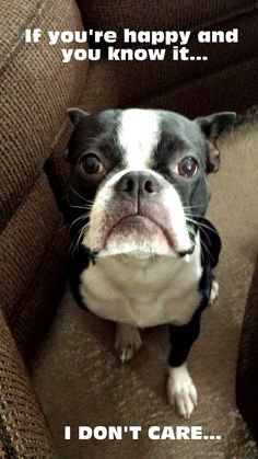 "Grumpy Boston Terrier- ""if you're happy and you know it....i don't care"""