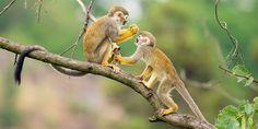 posted a photo: Two common squirrel monkeys (Saimiri sciureus) playing on a tree branch Kunming, Chimpanzee, Orangutan, Los Primates, Types Of Monkeys, Monkey Types, Heide Park, Macaque Monkey, New World Monkey