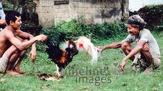 Hahnenkampf auf Bali, 1979 Schneckes/Timeline Images #colorphotography #retro #nostalgic #vintage #historisch #historical #indonesia #indonesien #bali #cock #hahn #fightingcock #kampfhahn #kampfhähne #tradition #traditionell #traditional #animal #animals #tier #tiere #alltagsleben #dailylife #käfig #cage #vogel #bird Art, Kunst, Art Education, Artworks