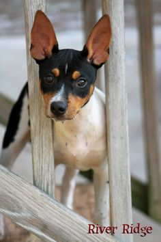 Rat Terriers can be curious! That's an under statement! Rat Terrier Puppies, Toy Fox Terriers, Terrier Mix, Sweet Dogs, Cute Dogs, Miniature Fox Terrier, Baby Animals, Cute Animals, Little Dogs