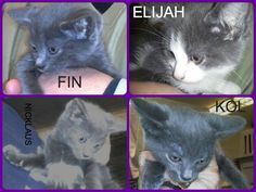Cats for Adoption: Can You Give Four FeLV Kittens a Home. Cats in Delmont, PA.