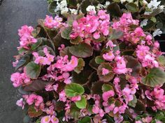 Begonia semperflorens 'Gin' A glossy bronze leafed compact annual that blooms pink flowers from Spring to Fall.  Hardy and uniform. Ideal for hanging baskets, containers, and landscape beds.  Prefers moist but well-drained soil.