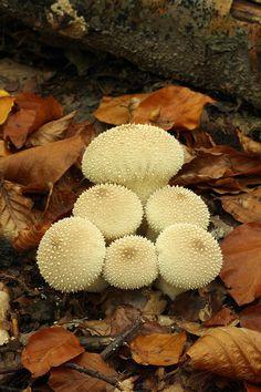 Lycoperdon perlatum (common puffball).